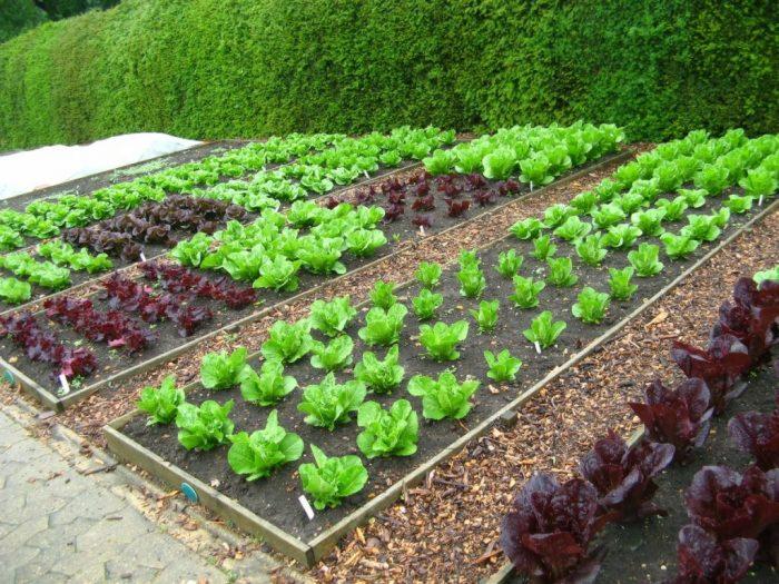 озеленение съедобными растениями