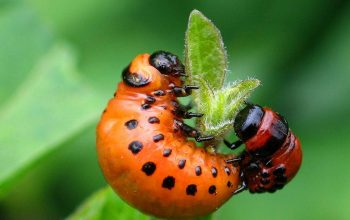 опасные огородные лечинки