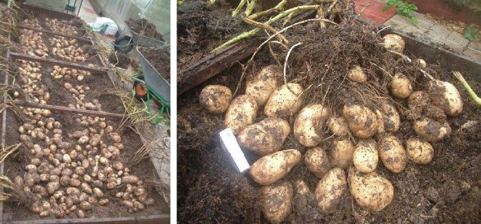много картошки с одного куста