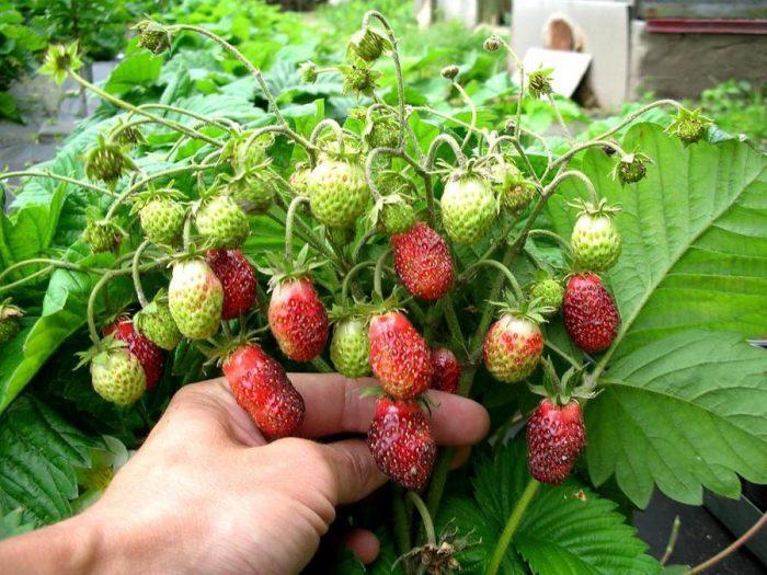 мелкие ягоды клубники