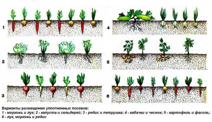 варианты уплотнения посевов в огороде