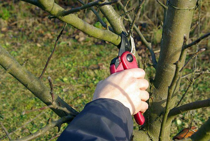 пасынкование дерева