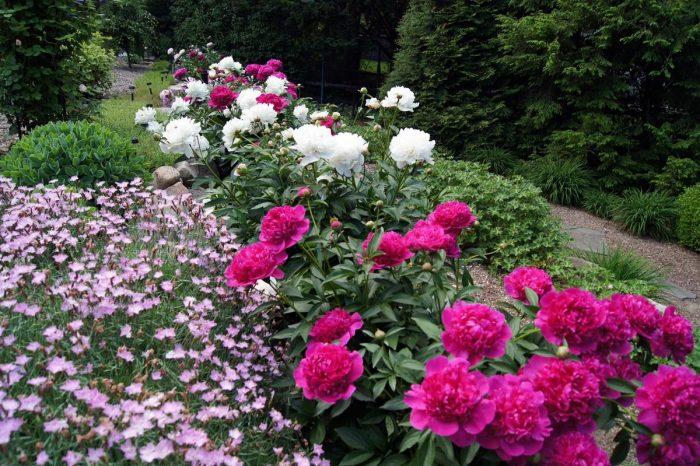цветение пионов