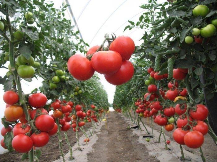 ошибки при выращивании томатов