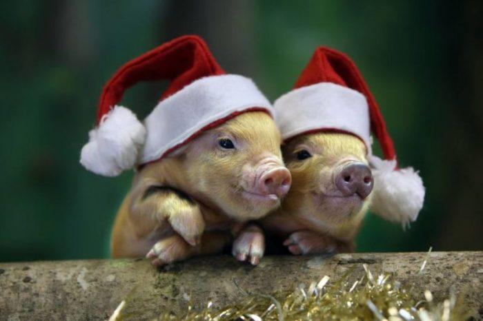 как встретить год свиньи