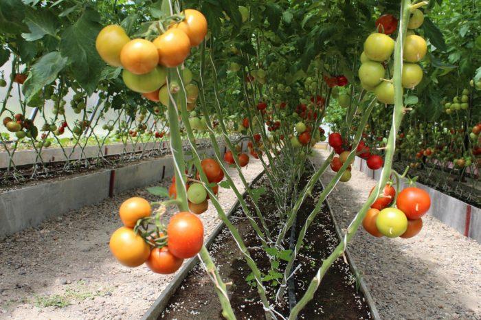 многолетние помидоры