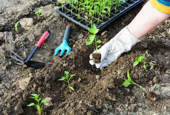 высаживание рассады в грунт