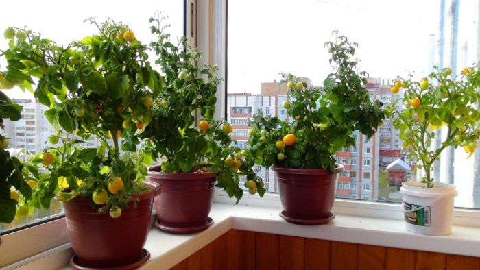 многолетние помидоры на подоконнике