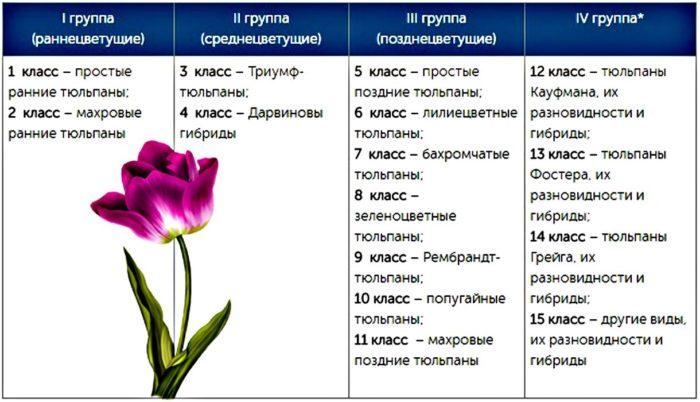 разновидности тюльпанов