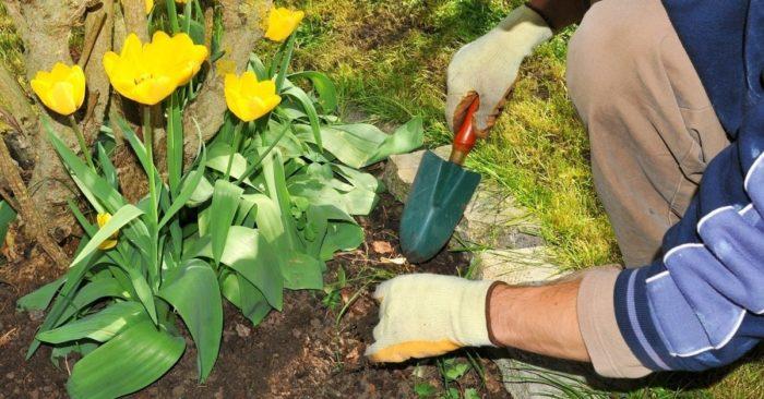 вопросы о тюльпанах