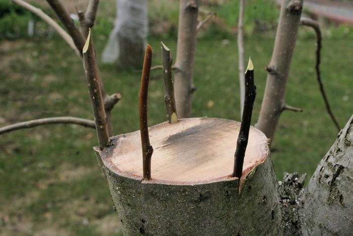 как правильно прищипывать деревья