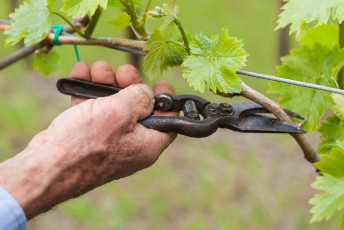 Весенняя обрезка винограда