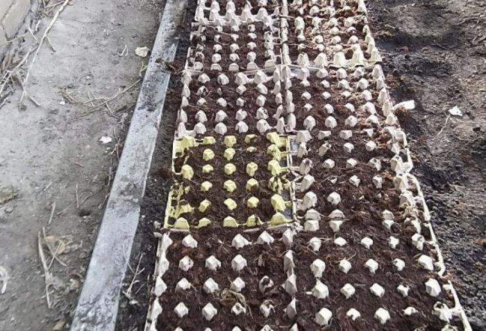 высаживание морковки в латках