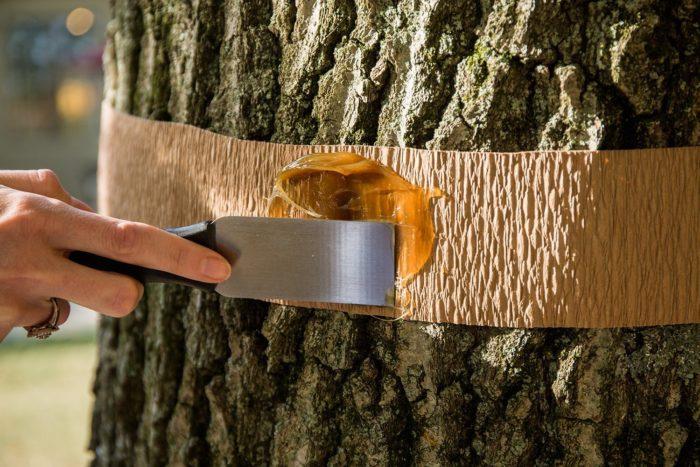 Ловчий пояс от вредителей на деревьях