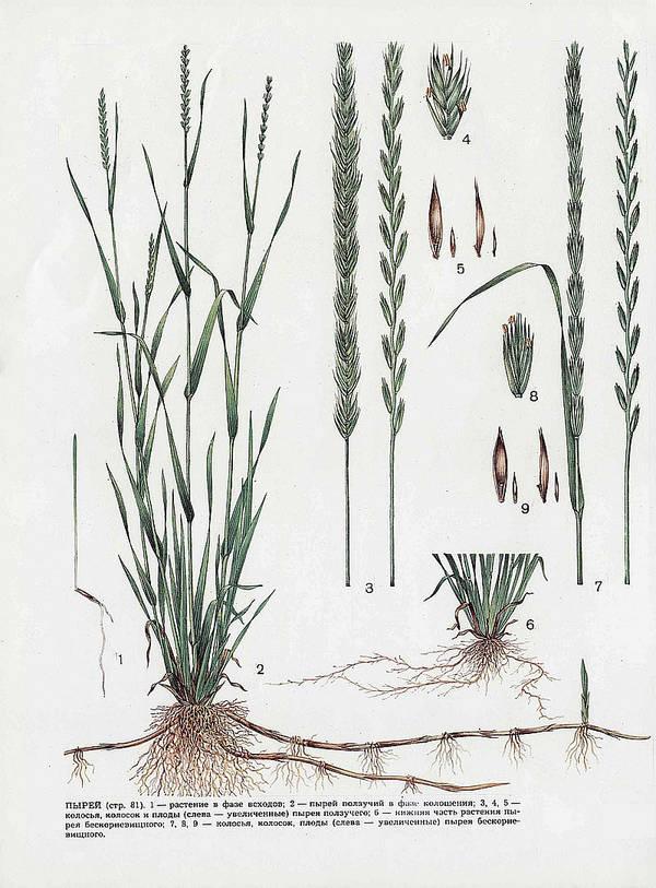 трава пырей ботаническое строение
