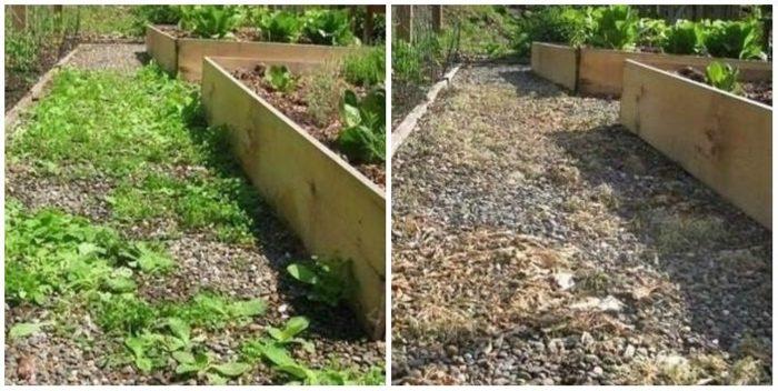результат применения кукурузной муки от сорняков