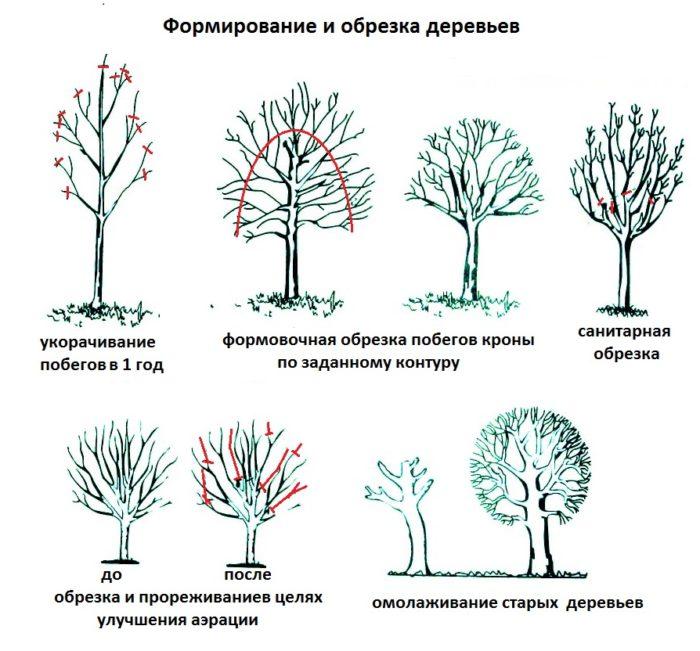 варианты обрезки деревьев
