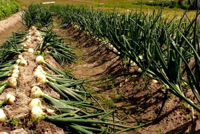 способ выращивания лука