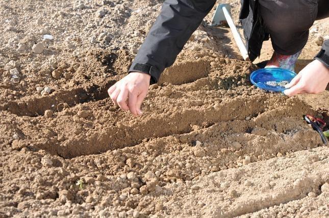 высадка морковки в песок