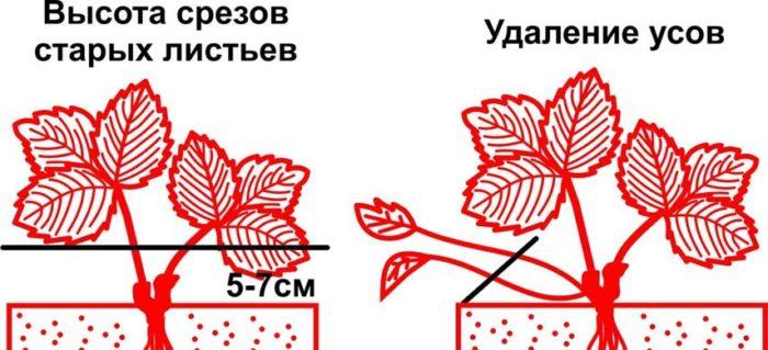 обрезка старых листьев клубники