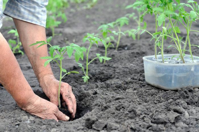 высаживаем рассаду в почву