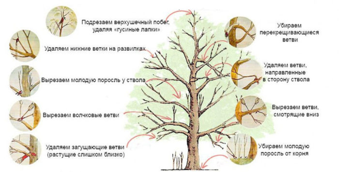 правила обрезки деревьев