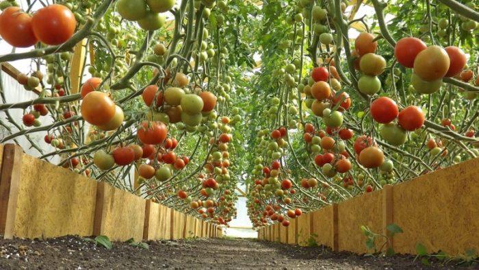янтарная кислота для томатов