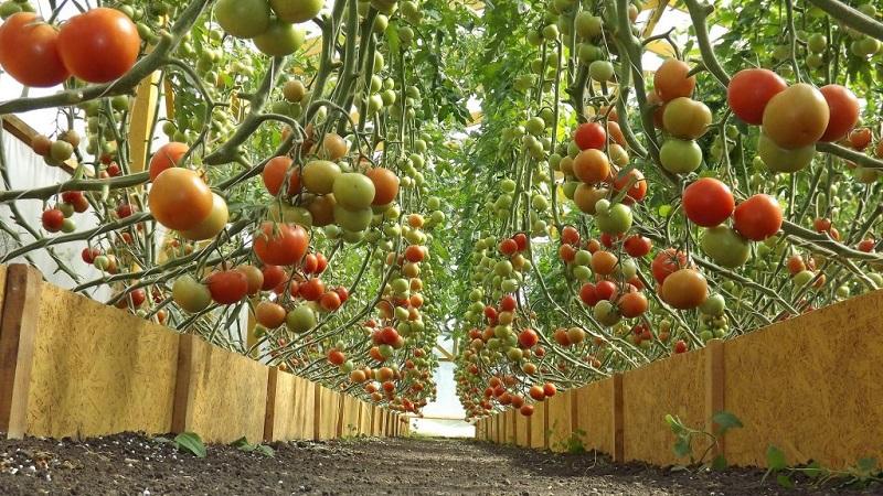 Применение янтарной кислоты для рассады томатов, огурцов, перца и других культур. Янтарная кислота для растений – особенности применения