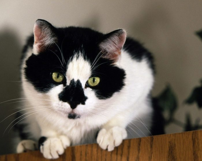 двухцветная кошка