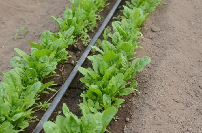 выращиваем щавель с капельным поливом
