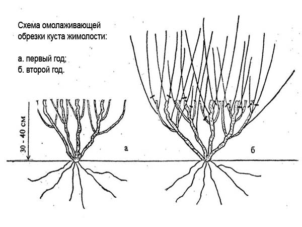 схема обрезки куста жимолости