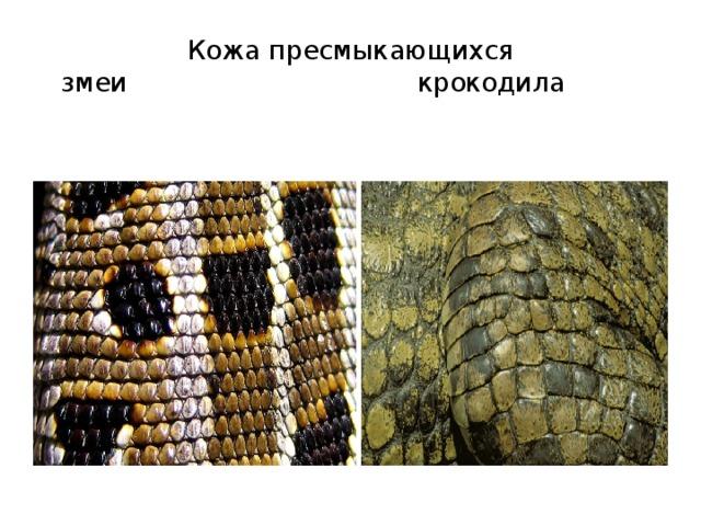 сравнение кожи змеи и крокодила