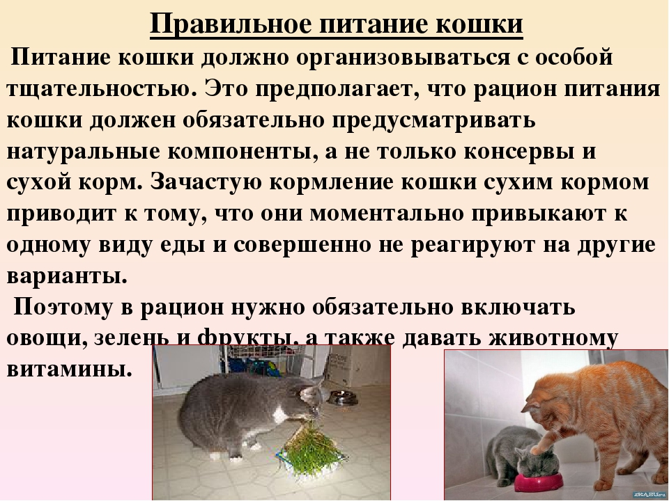 рацион питания кошки