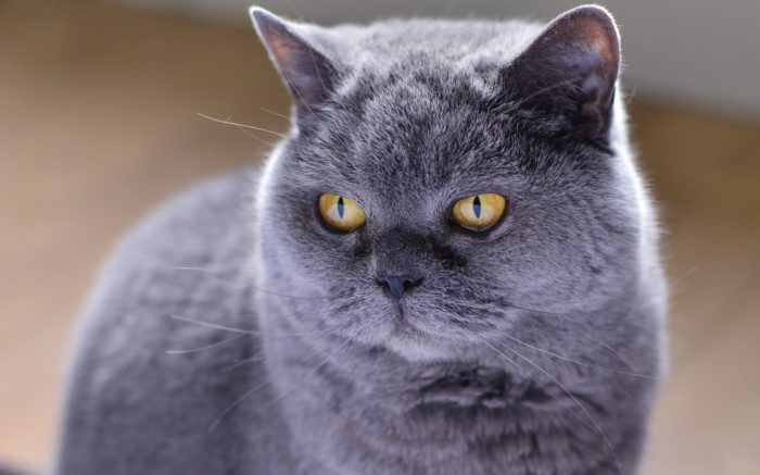 дымчато серая кошка