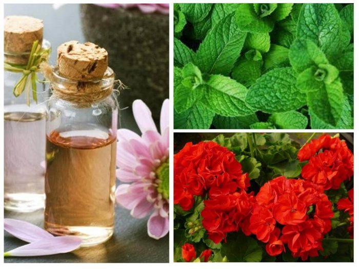 герань и эфирные масла от моли