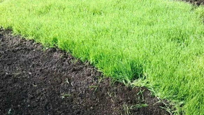 посадка сидератов для рыхления почвы
