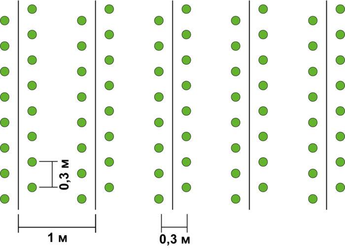 схема посадки щавеля