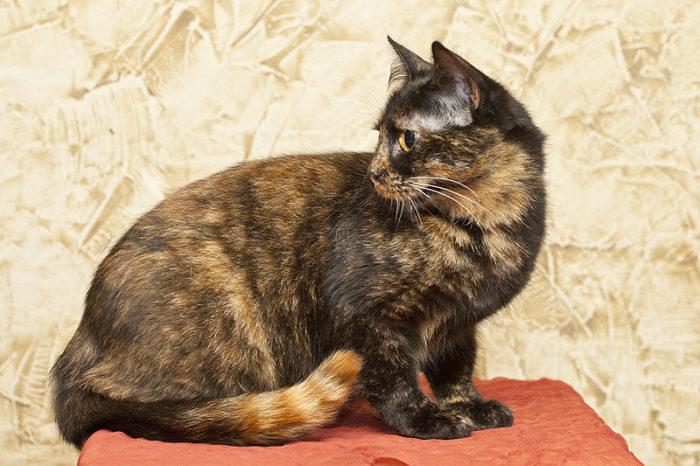 черепаховый окрас кошки