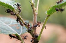 удаление муравьев на участке