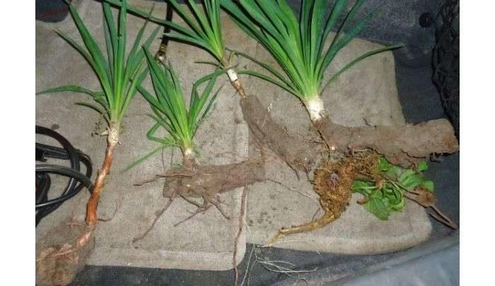 размножение юкки корнями
