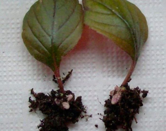 Укоренение листков фуксии