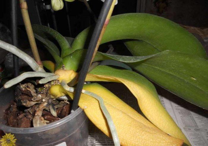 Желтеют листья орхидеи