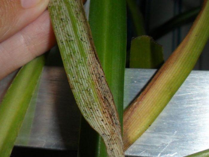 чернота на листьях хлорофитума