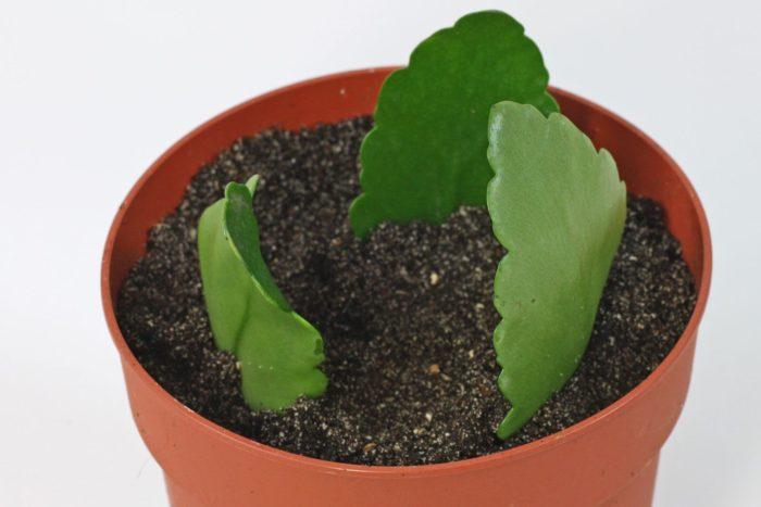 Размножение листками