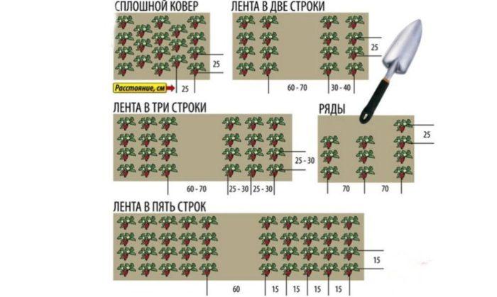 Схема посадки клубники в августе