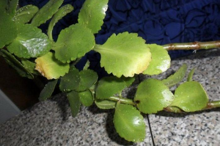 желтеют листья у каланхоэ