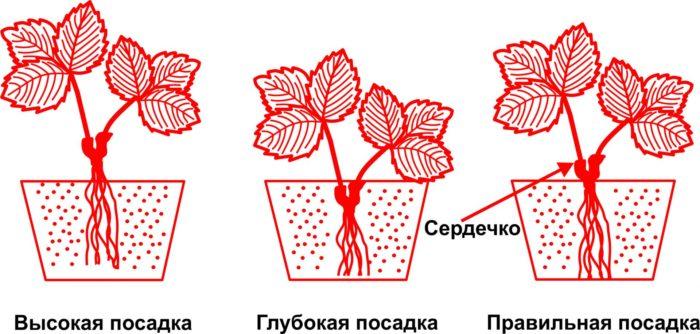 Как высаживать розетки клубники в августе