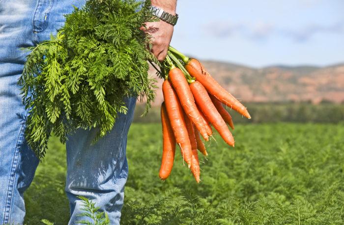 Правила заготовки морковной ботвы