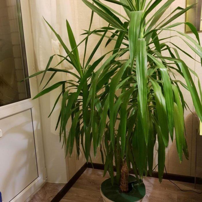 освещение для пальмы юкка