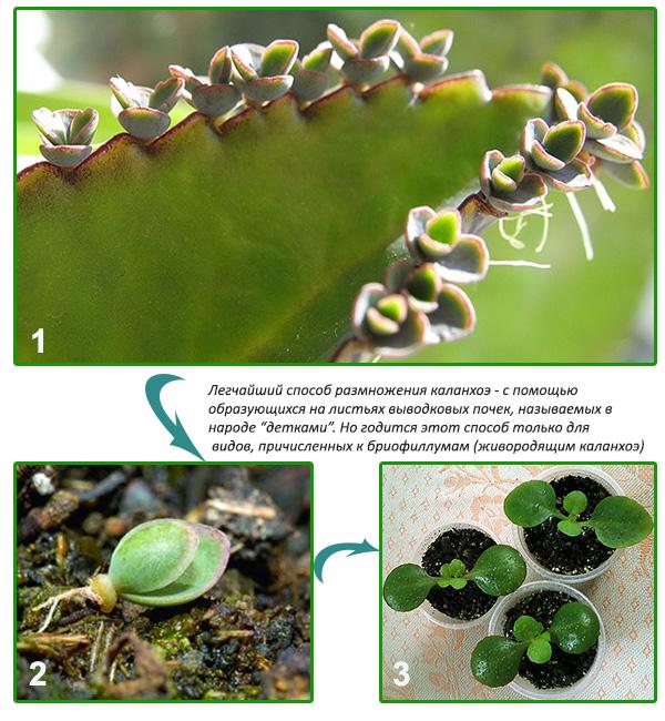 размножение каланхоэ из семян